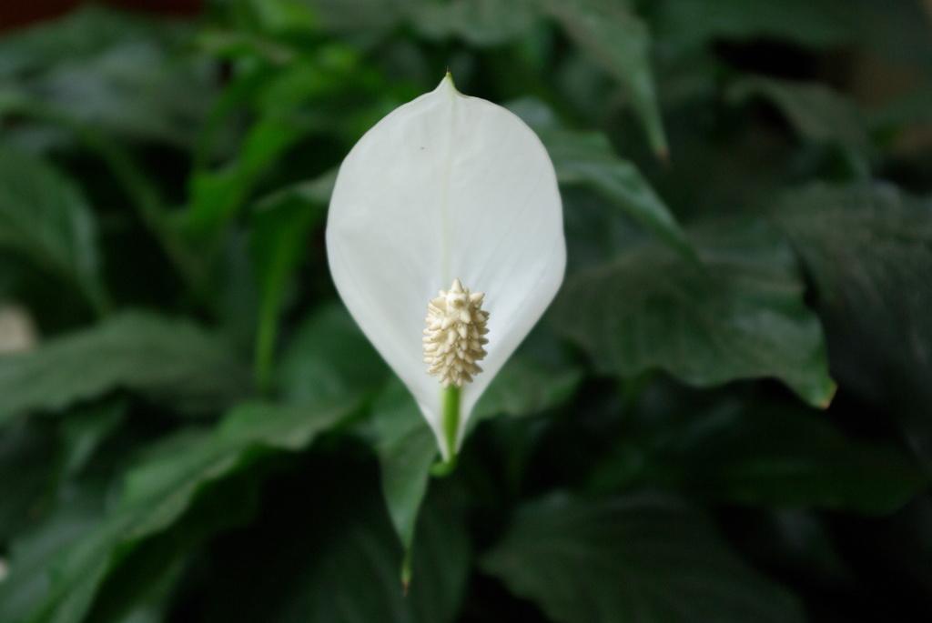 spathiphyllum.jpg